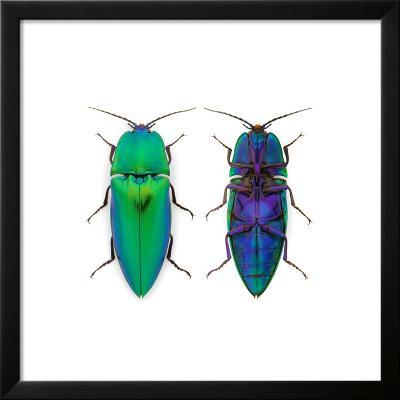 Borneo Click Beetle-Christopher Marley-Framed Photographic Print