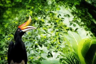 Borneo Exoctic Great Hornbill in Tropical Rainforest, Malaysia.-szefei-Photographic Print