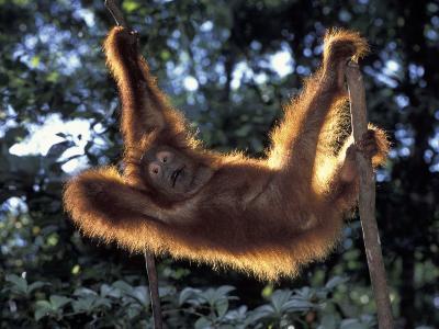 Borneo, Tanjung National Park Orangutan (Pongo Pygmaeus) juvenile stretching out between branches-Theo Allofs-Photographic Print