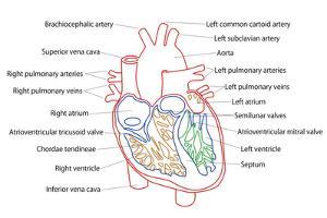 Human Heart Structure by boscorelli