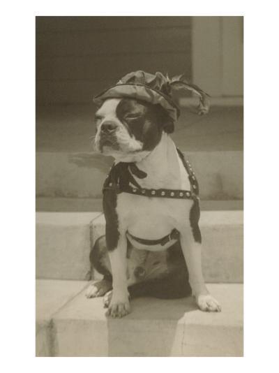 Boston Bulldog in Renaissance Cap--Art Print