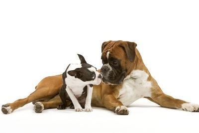 Boston Terrier and Boxer Sniffing Each Other in Studio--Photographic Print