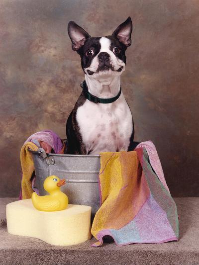 Boston Terrier In A Tub-Blueiris-Photographic Print