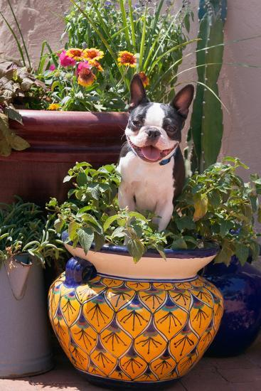 Boston Terrier in Garden Flower Pot-Zandria Muench Beraldo-Photographic Print