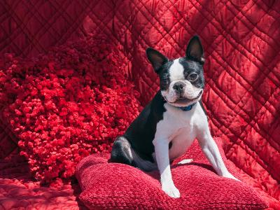 Boston Terrier on Red-Zandria Muench Beraldo-Photographic Print
