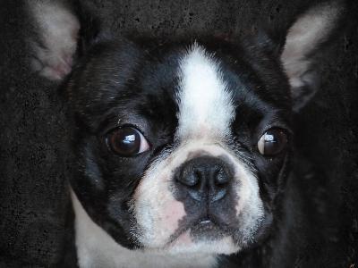 Boston Terrier Portrait-Jai Johnson-Giclee Print