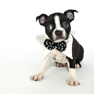 Boston Terrier Puppy- JStaley401-Photographic Print