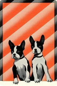 Boston Terrier Pups