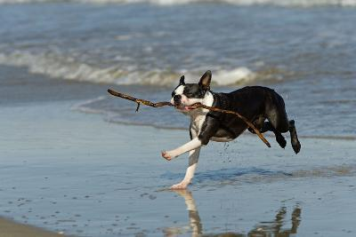 Boston Terrier Running in Sea with Stick--Photographic Print