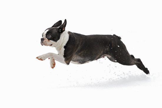 Boston Terrier Running in Snow--Photographic Print