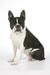 Boston Terrier, Sitting Down