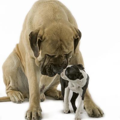 Boston Terrier with Mastiff Dog--Photographic Print