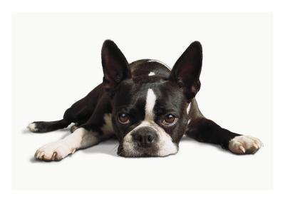 Boston Terrier--Photo
