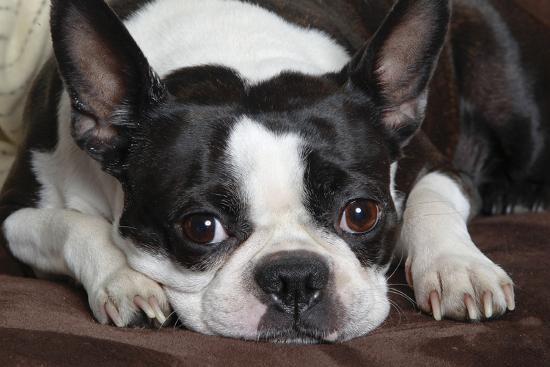 Boston Terrier--Photographic Print