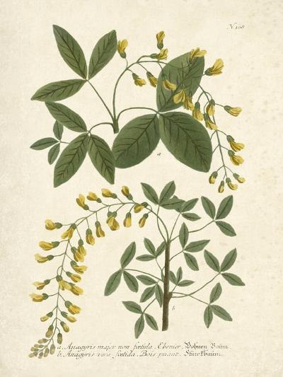 Botanica Anagyris-The Vintage Collection-Art Print