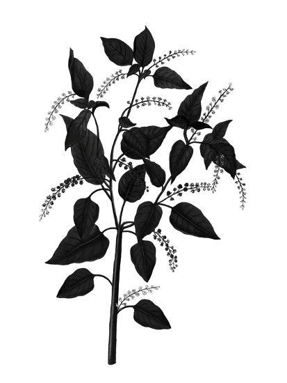 Botanica Baccifer - Noir-The Vintage Collection-Giclee Print