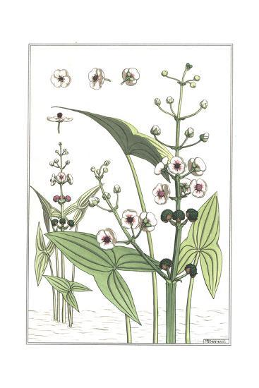 Botanical Drawing of Floral Water Plant with Large Triangular Leaves--Art Print