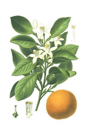 Botanical Drawing of Sweet Orange Fruit and Flowers