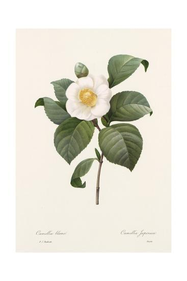 Botanical Drawing of White Camellia Flower--Art Print
