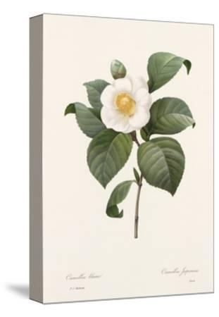 Botanical Drawing of White Camellia Flower