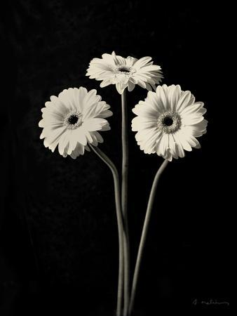 https://imgc.artprintimages.com/img/print/botanical-elegance-gerbera_u-l-pxkp200.jpg?p=0