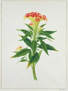 Botanical Illustration of a Red Flowering Plant
