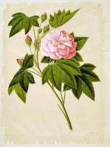 Botanical Illustration of Cotton Rose Hibiscus