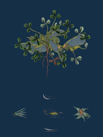 Botanical Illustration--Giclee Print
