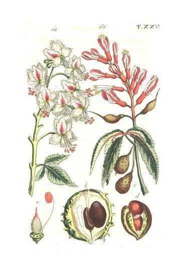 Botanical Illustrations of Flowering Plants--Art Print