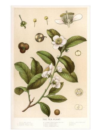 https://imgc.artprintimages.com/img/print/botanical-image-of-tea-plant_u-l-p6m8wh0.jpg?artPerspective=n