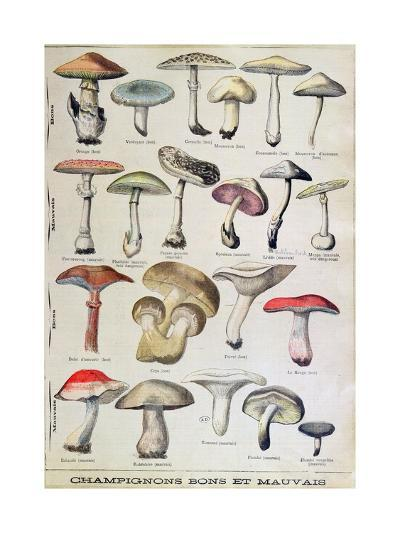 Botanical Plate Depicting 'Good and Bad Mushrooms', C.1900--Giclee Print