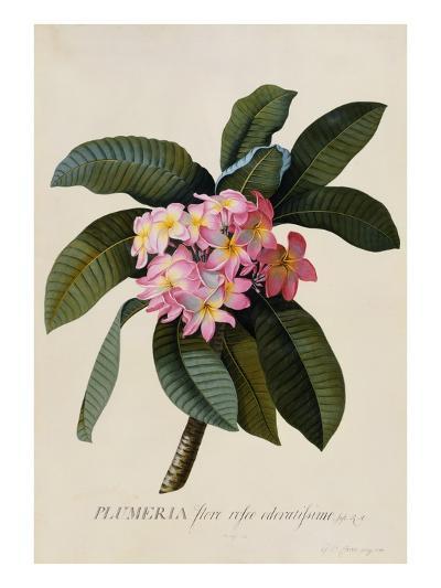 Botanical Print of Frangipani-Johann Wilhelm Weinmann-Giclee Print