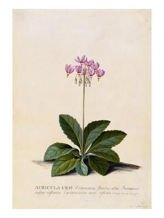 https://imgc.artprintimages.com/img/print/botanical-print-of-shooting-star_u-l-pf5agr0.jpg?p=0