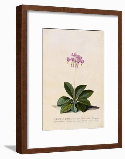 Botanical Print of Shooting Star-Johann Wilhelm Weinmann-Framed Giclee Print
