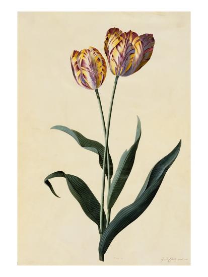 Botanical Print of Tulip-Johann Wilhelm Weinmann-Giclee Print