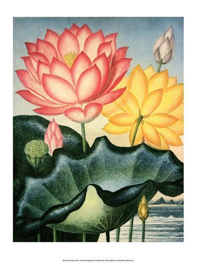 Botanical Print, The Sacred Egyptian Bean-Peter Charles Henderson-Art Print