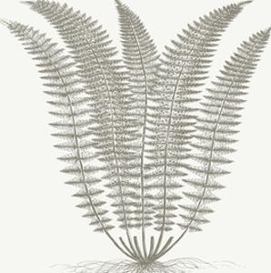 Fern (Ivory & Burlap) by Botanical Series