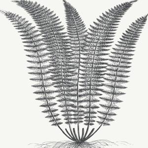 Fern (Ivory & Ink) by Botanical Series