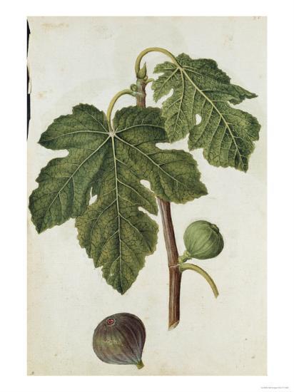 Botanical Study of a Fig-Jacques Le Moyne De Morgues-Giclee Print