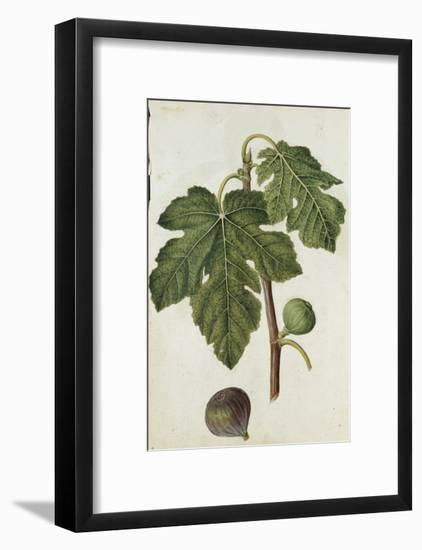 Botanical Study of a Fig-Jacques Le Moyne De Morgues-Framed Giclee Print