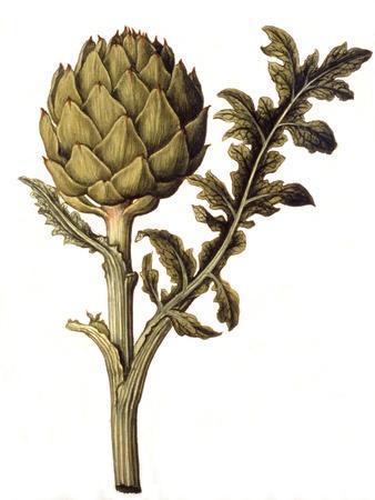 https://imgc.artprintimages.com/img/print/botanical-study-of-a-globe-artichoke_u-l-p3999g0.jpg?p=0