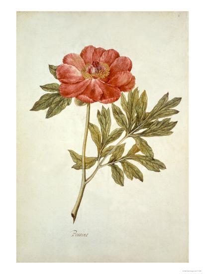 Botanical Study of a Peony-Jacques Le Moyne De Morgues-Giclee Print
