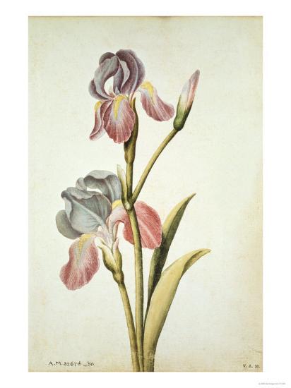 Botanical Study of an Iris-Jacques Le Moyne De Morgues-Giclee Print