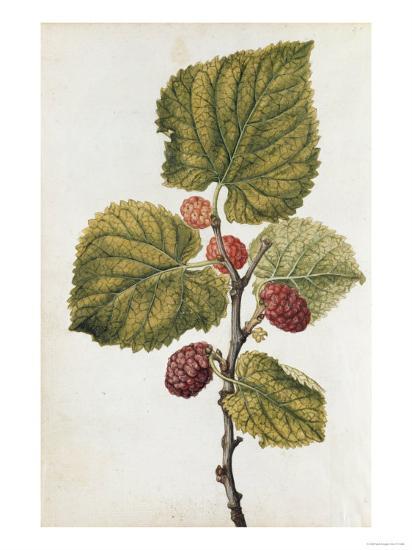 Botanical Study of Mulberry-Jacques Le Moyne De Morgues-Giclee Print