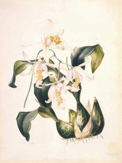 Botanical Watercolour: Orchid, Coelogyne Interrupta-Samuel Holden-Giclee Print