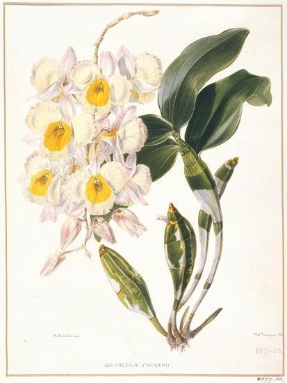 Botanical Watercolour: Orchid, Dendrobium Farmerii-Samuel Holden-Giclee Print