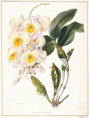 https://imgc.artprintimages.com/img/print/botanical-watercolour-orchid-dendrobium-farmerii_u-l-p390vw0.jpg?p=0
