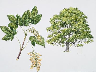Botany, Aceraceae, Sycamore Maple Acer Pseudoplatanus with Flower and Leaf--Giclee Print