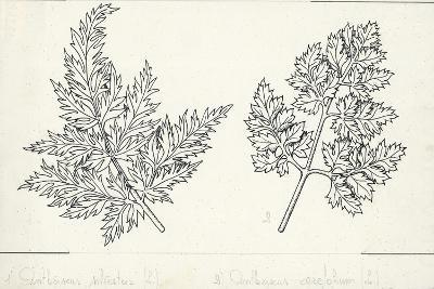 Botany, Apiaceae, Leaves of Anthriscus Silvestris and Cerefolium--Giclee Print