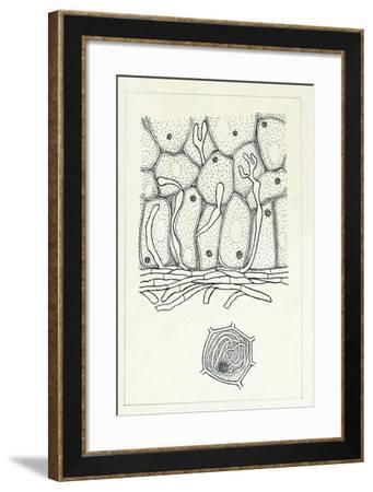 Botany, Fungi, Mycorrhizal Fungus, Hypha in Cell--Framed Giclee Print